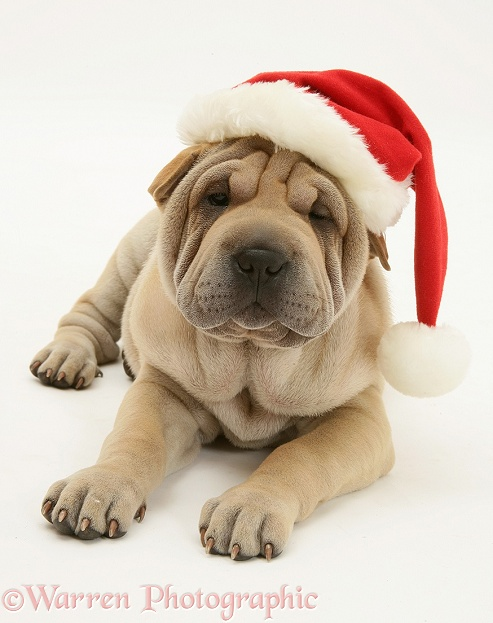 Shar-pei pup, Beanie, wearing a Father Christmas hat, white background