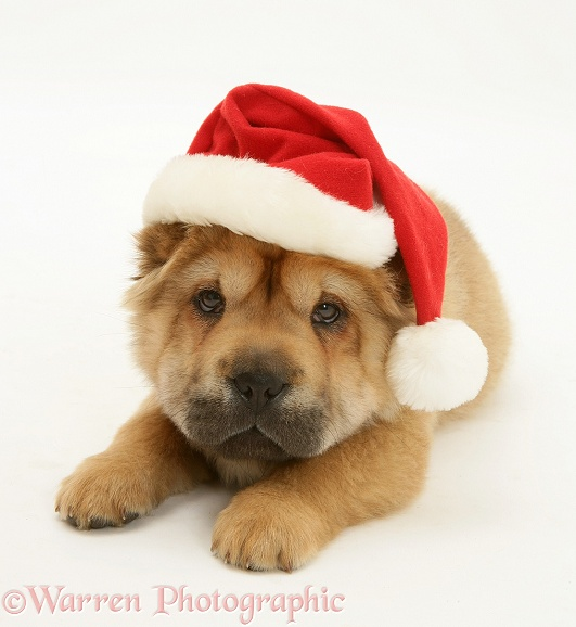 Shar-pei pup wearing a Father Christmas hat, white background