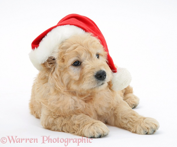 Miniature Goldendoodle pup, 7 weeks old, wearing a Father Christmas hat, white background