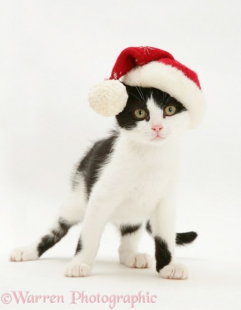 Black-and-white kitten wearing a Father Christmas hat, white background