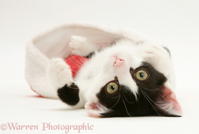 Black-and-white kitten playing with a Father Christmas hat, white background