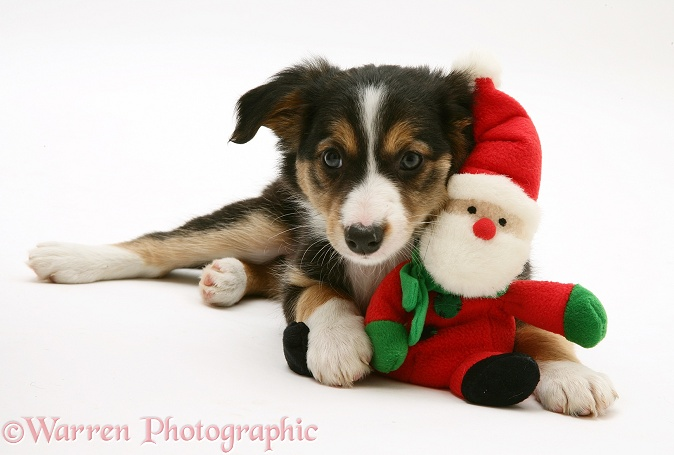 Tricolour Border Collie puppy with a Father Christmas toy, white background
