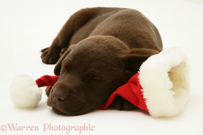 Chocolate Retriever pup, Mocha, asleep on a Father Christmas hat, white background