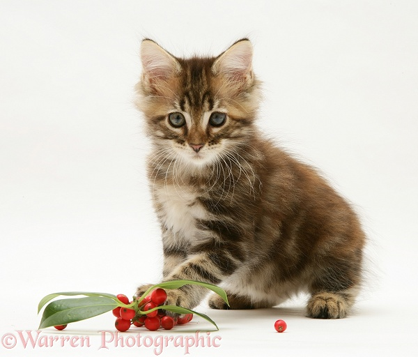 Tabby Maine Coon kitten with holly leaves and berries, white background