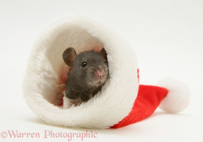 Baby rat in a Father Christmas hat, white background