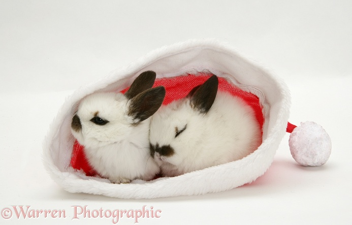 Baby rabbits in a Santa hat, white background
