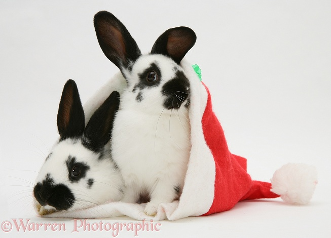 Black-and-white rabbits in a Father Christmas hat, white background