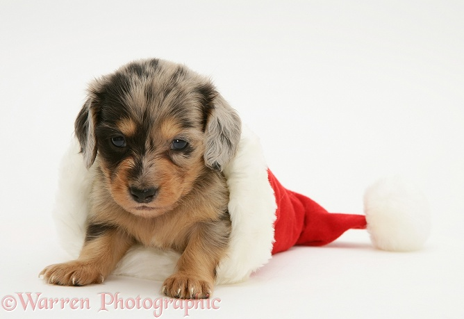 Silver dapple miniature Dachshund pup in a Father Christmas hat, white background