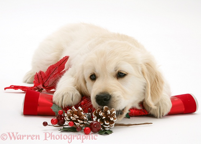 Golden Retriever pup with Christmas cracker, white background