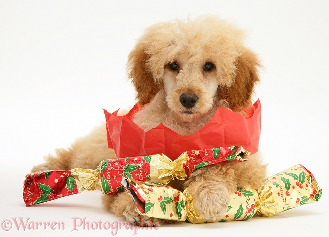 Apricot Miniature Poodle with Christmas Crackers and paper hat, white background