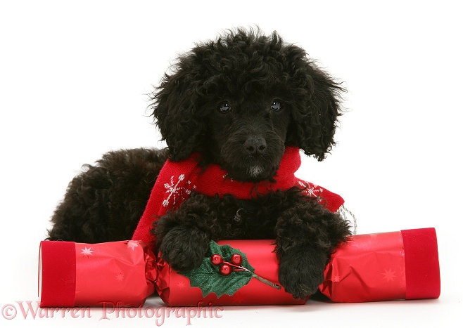 Black Miniature Poodle with red scarf and Christmas cracker, white background