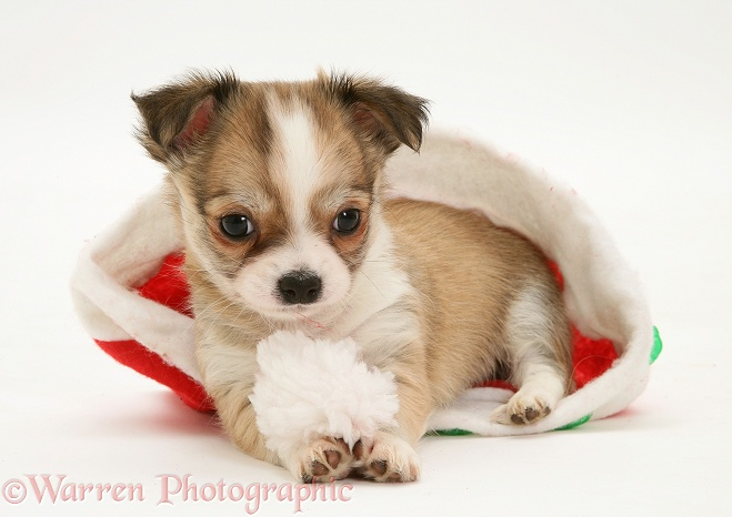 Chihuahua puppy in a Father Christmas hat, white background