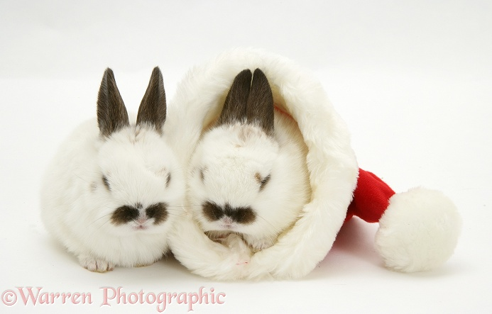 Baby rabbits in a Father Christmas hat, white background