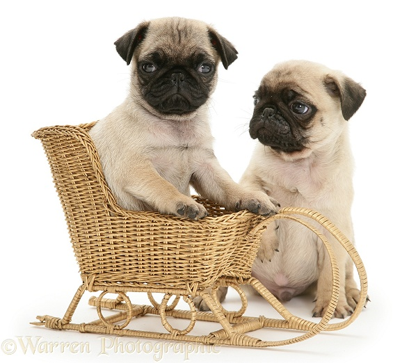 Fawn Pug pups with a wicker toy sledge, white background