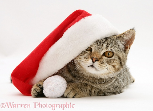 Tabby cat, Tiger Lily, under a Father Christmas hat, white background