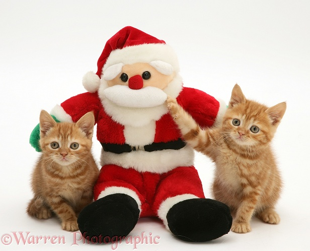 Red tabby kittens with Father Christmas toy, white background