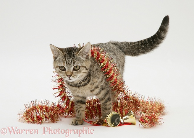 Tabby kitten with Christmas tinsel and bells, white background