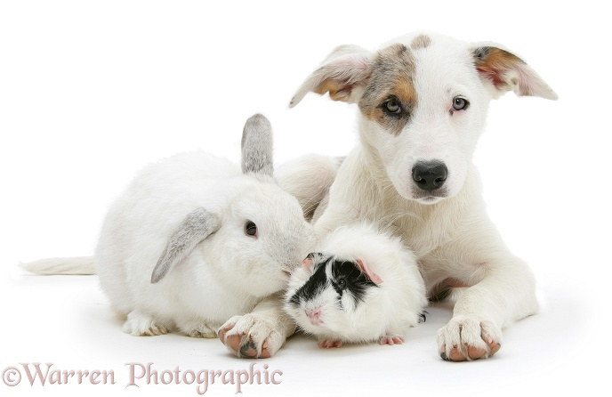 Merle-and-white Border Collie-cross dog pup, Ice, 14 weeks old, with a white rabbit and black-and-white guinea pig, white background