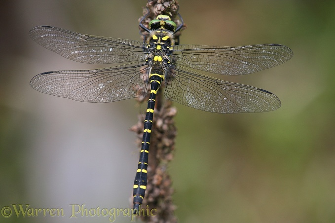 Golden-ringed Dragonfly (Cordulegaster boltonii) resting on dead head of mullein.  Europe