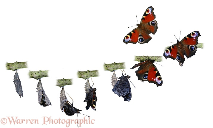 Peacock Butterfly (Inachis io) from pupa to imago in 8 stages.  Europe, white background