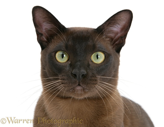 Burmese male cat, Murray, 9 months old, white background