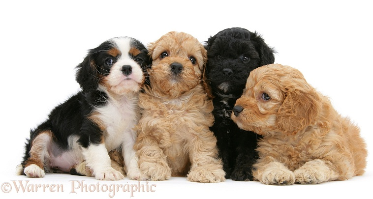 Black and Golden Cockapoo pups, 6 weeks old, with tricolour Cavalier King Charles Spaniel pup, Molly, 7 weeks old, white background