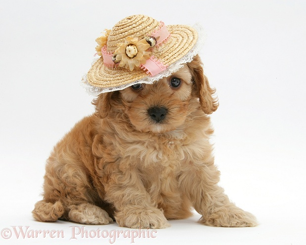 Golden Cockapoo pup, 6 weeks old, wearing a straw hat, white background