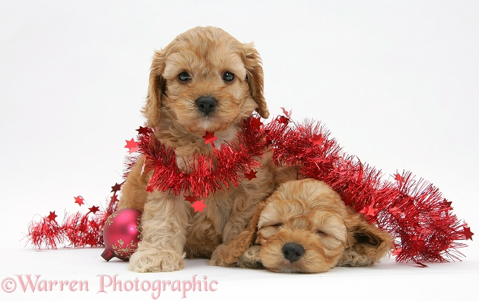 Golden Cockapoo pups, 6 weeks old, with red tinsel and Christmas baubles, white background
