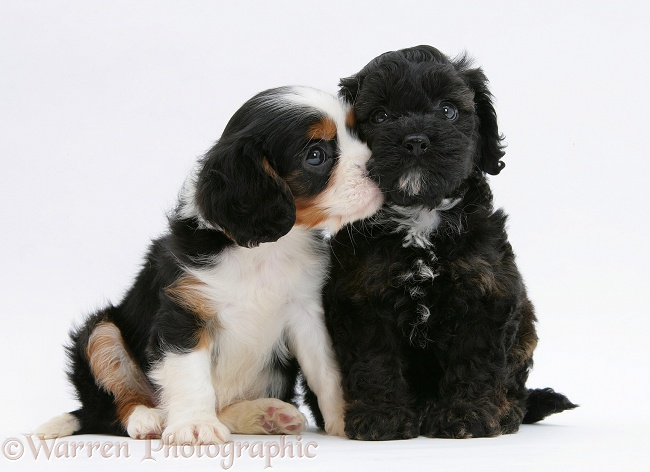 Black Cockapoo pup, 6 weeks old, with tricolour Cavalier King Charles Spaniel pup, Molly, 7 weeks old, white background