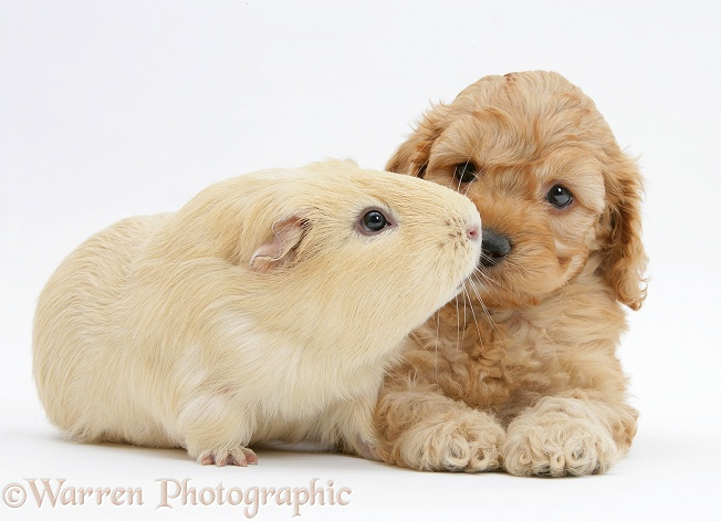 Golden Cockapoo pup, 6 weeks old, with a yellow Guinea pig, white background