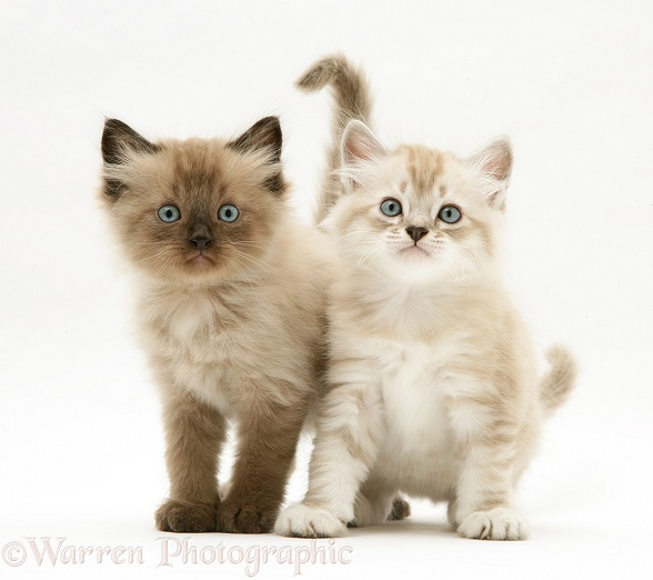 Sepia-tabby point and chocolate Birman-cross kittens, white background