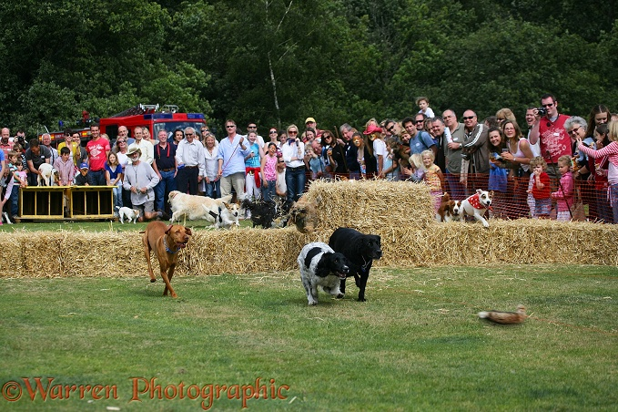 Terrier racing.  Surrey, England
