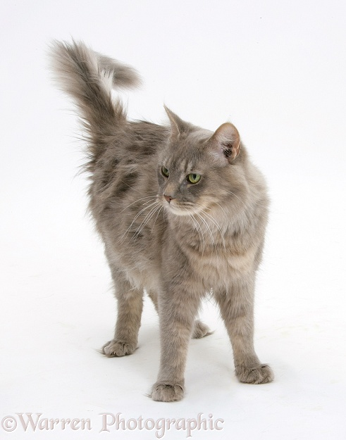 Maine Coon female cat, Serafin, standing, white background