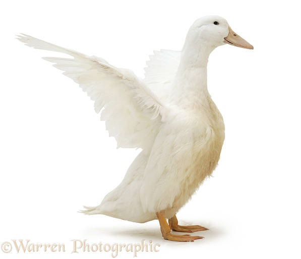 White duck, wing whirring, white background