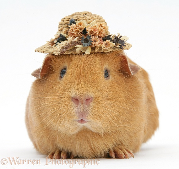 Red guinea pig wearing a straw hat, white background
