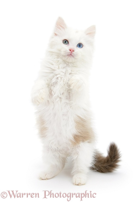 Birman x Ragdoll kitten, Willow, 11 weeks old, standing with paws up, white background