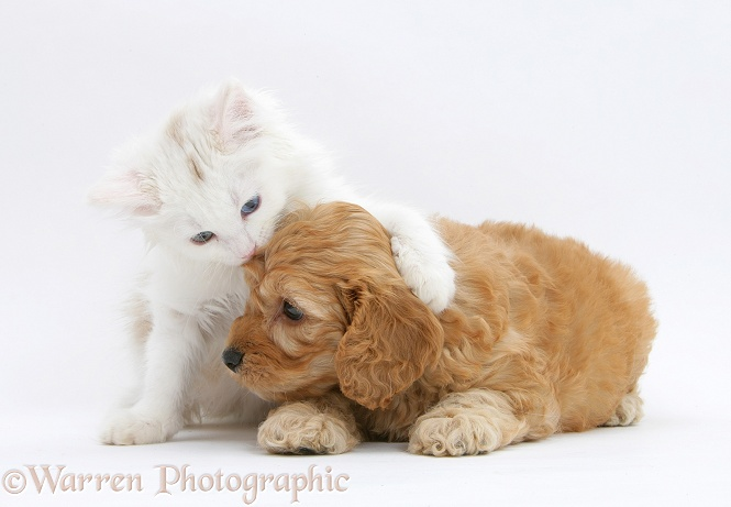 Birman x Ragdoll kitten, Willow, 11 weeks old, with Golden Cockapoo pup, 7 weeks old, white background