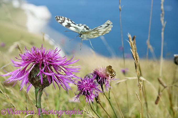 Marbled White Butterfly (Melanargia galathea) visiting Greater Knapweed (Centaurea scabiosa).  Europe