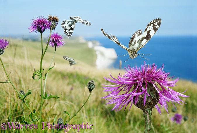 Marbled White Butterflies (Melanargia galathea) visiting Greater Knapweed (Centaurea scabiosa).  Europe