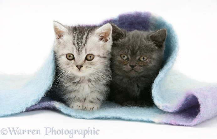 Two kittens under a scarf, white background