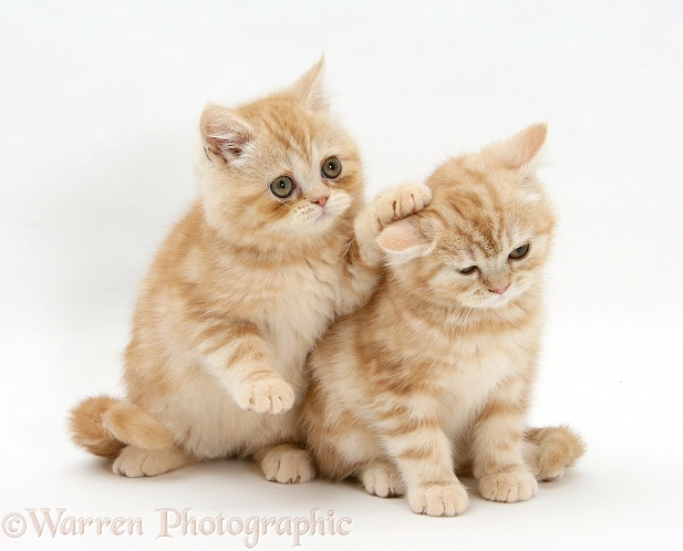 Ginger kittens, one with a paw on the head of the other, white background