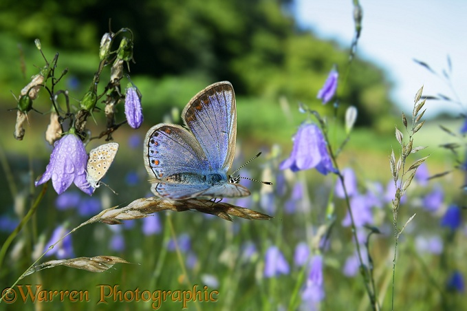Common Blue Butterfly (Polyommatus icarus) females awaking at sunrise among Harebells (Campanula rotundifolia).  Europe
