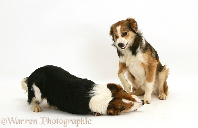 Border Collie showing aggression
