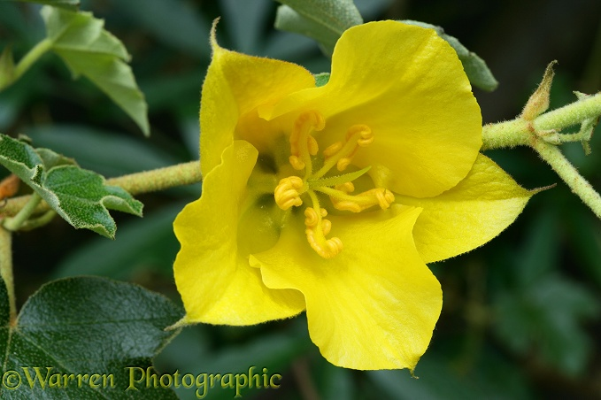 California Glory (Fremontodendron species) flower