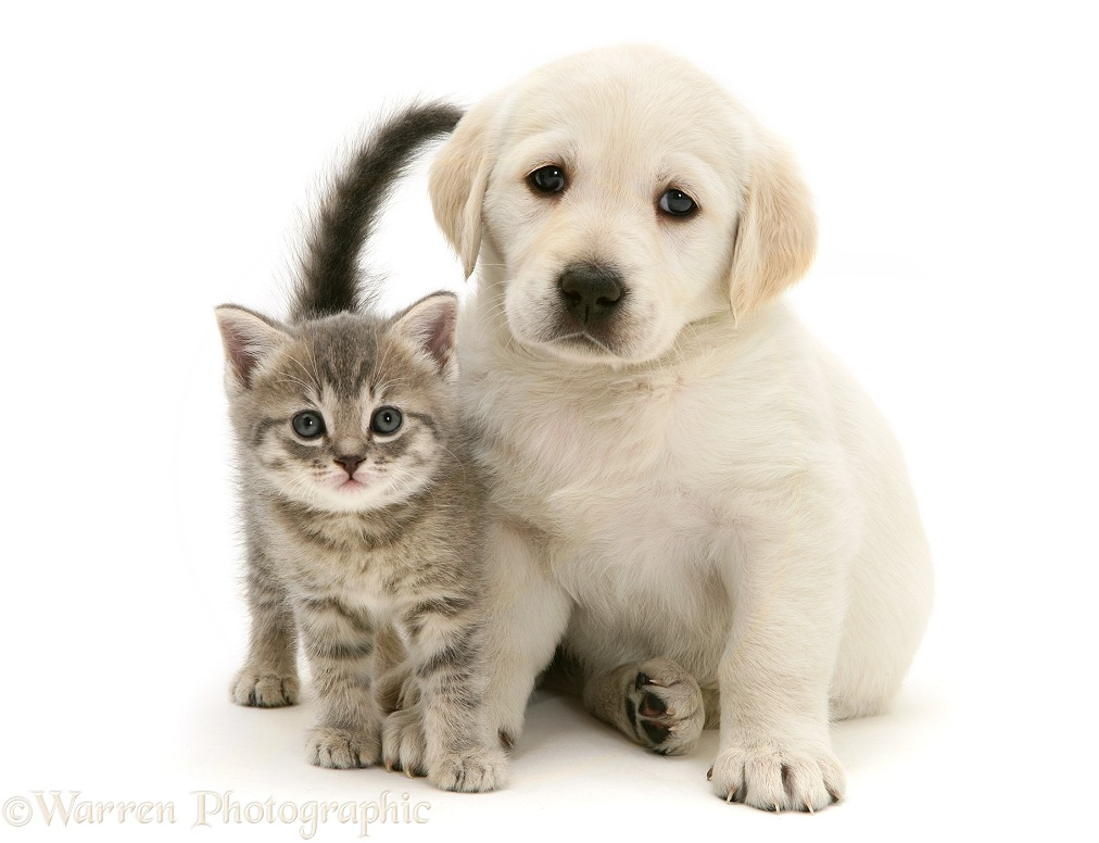 Yellow Goldador Retriever pup with blue tabby kitten, white background