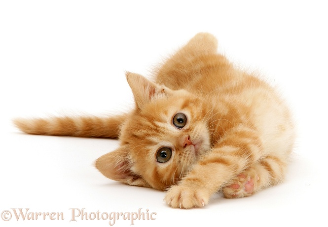 British shorthair red tabby kitten rolling playfully, white background