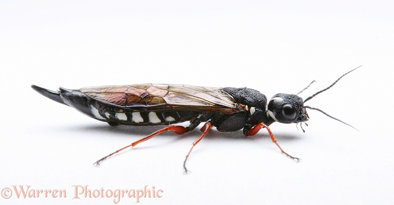Sawfly (Xiphydria camelus).  Europe, white background