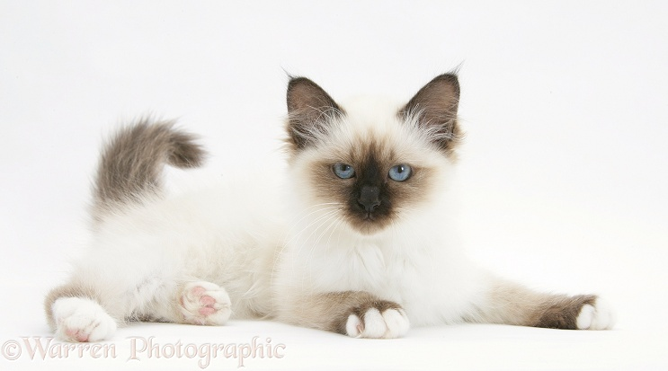 Birman kitten, white background