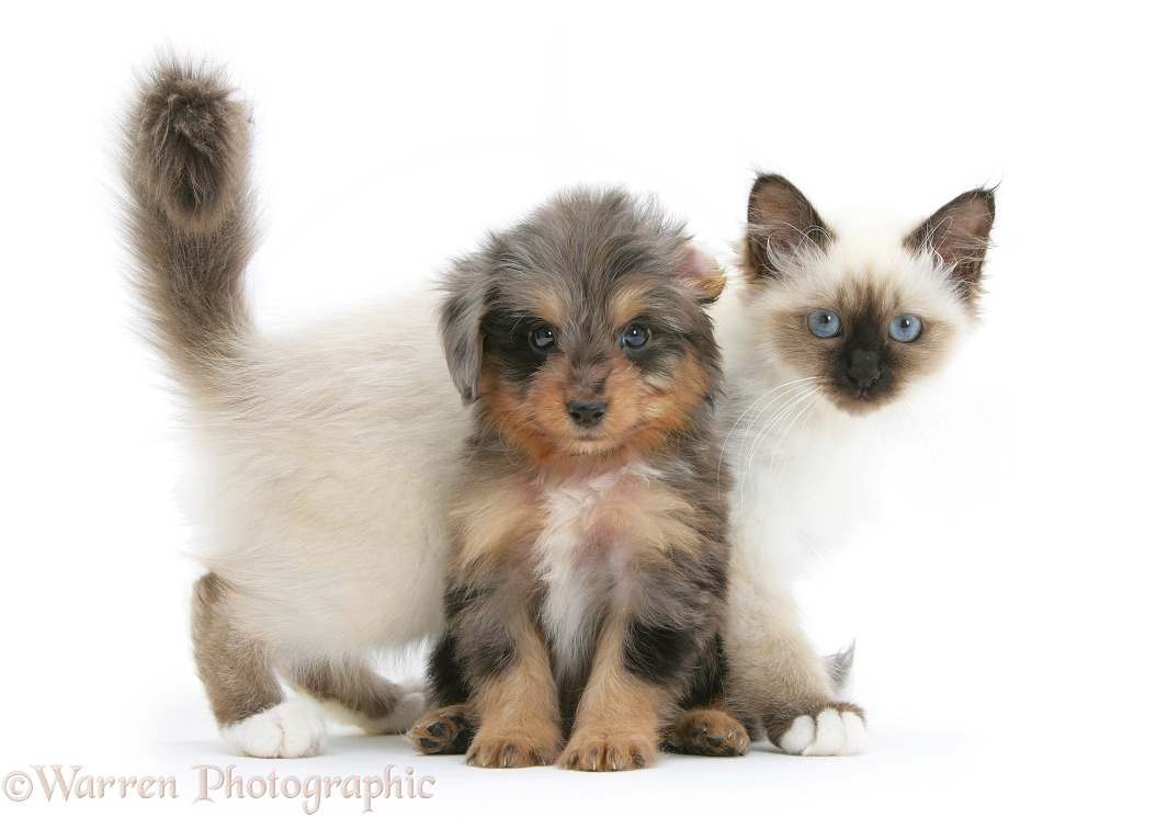 Shetland Sheepdog x Poodle pup, 7 weeks old, with Birman kitten, white background