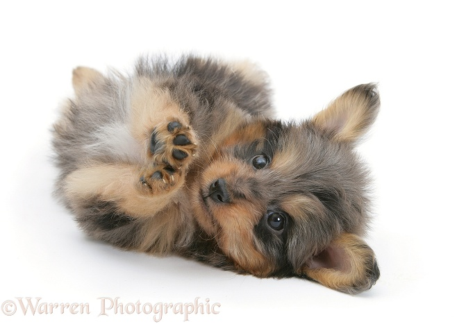Shetland Sheepdog x Poodle pup, 7 weeks old, rolling on its back, white background